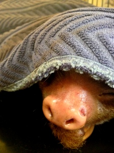 This is one of their sloths who needs a bit of medical attention. He likes staying cozy under the blanket.